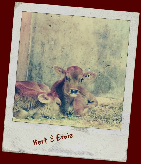 EcoDairy Cows