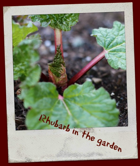 Local Rhubarb growing in the garden
